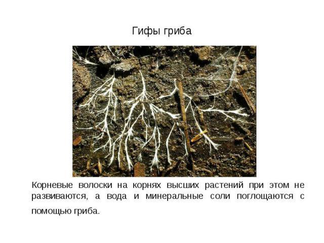 Корневые волоски на корнях высших растений при этом не развиваются, а вода и минеральные соли поглощаются с помощью гриба. Корневые волоски на корнях высших растений при этом не развиваются, а вода и минеральные соли поглощаются с помощью гриба.