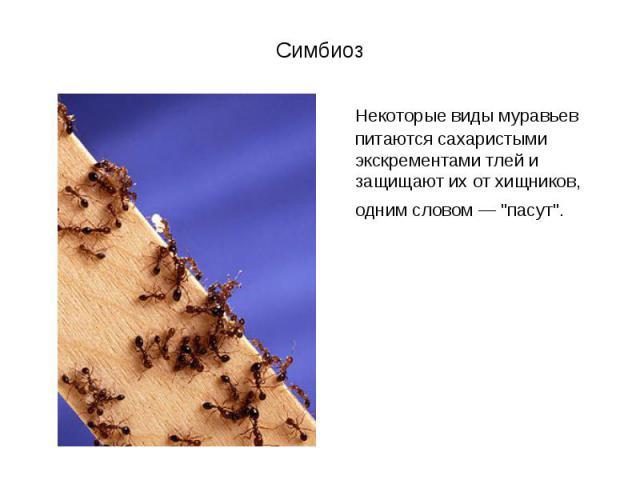 """Некоторые виды муравьев питаются сахаристыми экскрементами тлей и защищают их от хищников, одним словом — """"пасут"""". Некоторые виды муравьев питаются сахаристыми экскрементами тлей и защищают их от хищников, одним словом — """"пасут""""."""