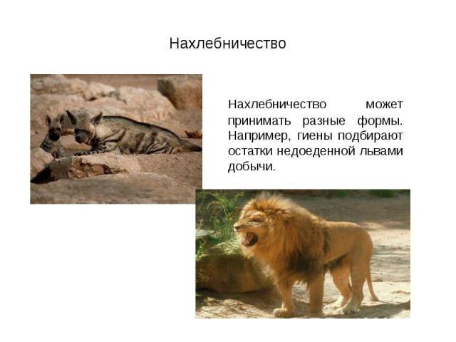Нахлебничество может принимать разные формы. Например, гиены подбирают остатки недоеденной львами добычи. Нахлебничество может принимать разные формы. Например, гиены подбирают остатки недоеденной львами добычи.