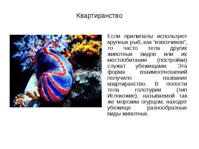 """Если прилипалы используют крупных рыб, как """"извозчиков"""", то часто тела других животных видов или их местообитания (постройки) служат убежищами. Эта форма взаимоотношений получило название квартиранство. В полости тела голотурии (тип Иглокожие), назы…"""