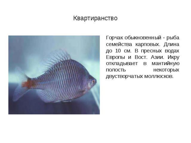 Горчак обыкновенный - рыба семейства карповых. Длина до 10 см. В пресных водах Европы и Вост. Азии. Икру откладывает в мантийную полость некоторых двустворчатых моллюсков. Горчак обыкновенный - рыба семейства карповых. Длина до 10 см. В пресных вода…