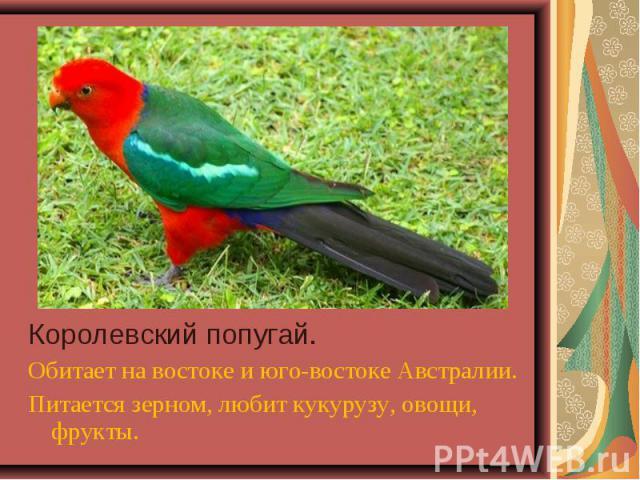 Королевский попугай. Королевский попугай. Обитает на востоке и юго-востоке Австралии. Питается зерном, любит кукурузу, овощи, фрукты.