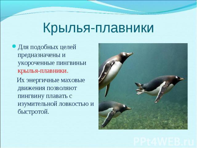 Для подобных целей предназначены и укороченные пингвиньи крылья-плавники. Для подобных целей предназначены и укороченные пингвиньи крылья-плавники. Их энергичные маховые движения позволяют пингвину плавать с изумительной ловкостью и быстротой.