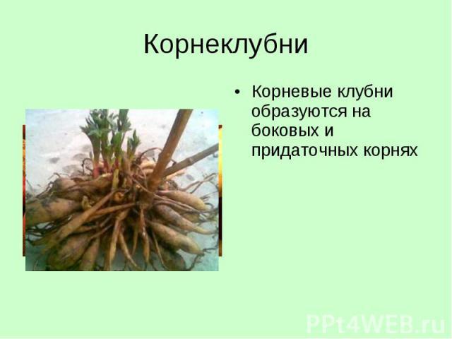 Корневые клубни образуются на боковых и придаточных корнях Корневые клубни образуются на боковых и придаточных корнях