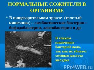 В пищеварительном тракте (толстый кишечник) – симбиотические бактерии – бифидоба