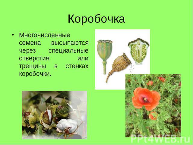 Многочисленные семена высыпаются через специальные отверстия или трещины в стенках коробочки. Многочисленные семена высыпаются через специальные отверстия или трещины в стенках коробочки.