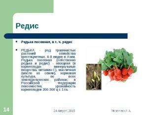 Редька посевная, в т. ч. редис Редька посевная, в т. ч. редис РЕДЬКА - род травя