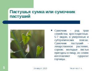 Сумочник - род трав семейства крестоцветных. 5-7 видов, в умеренных и субтропиче