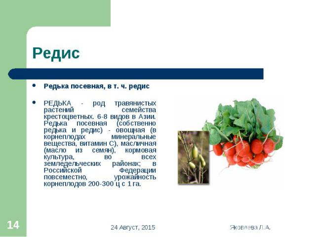 Редька посевная, в т. ч. редис Редька посевная, в т. ч. редис РЕДЬКА - род травянистых растений семейства крестоцветных. 6-8 видов в Азии. Редька посевная (собственно редька и редис) - овощная (в корнеплодах минеральные вещества, витамин С), масличн…