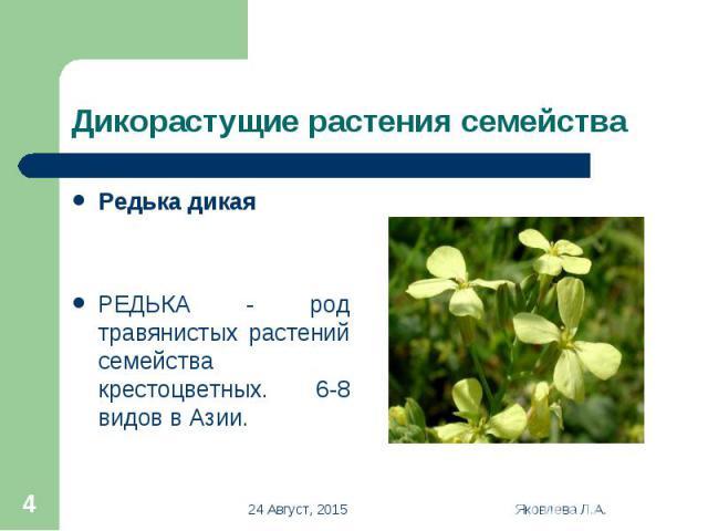 Редька дикая Редька дикая РЕДЬКА - род травянистых растений семейства крестоцветных. 6-8 видов в Азии.