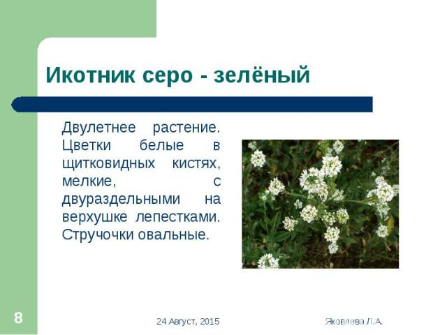 Двулетнее растение. Цветки белые в щитковидных кистях, мелкие, с двураздельными на верхушке лепестками. Стручочки овальные. Двулетнее растение. Цветки белые в щитковидных кистях, мелкие, с двураздельными на верхушке лепестками. Стручочки овальные.