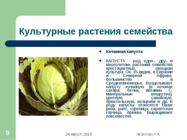Кочанная капуста Кочанная капуста КАПУСТА - род одно-, дву- и многолетних растений семейства крестоцветных, овощная культура. Ок. 35 видов, в Евразии и Северной Африке, большинство в Средиземноморье. Возделывают капусту кочанную (в кочанах сахара, б…