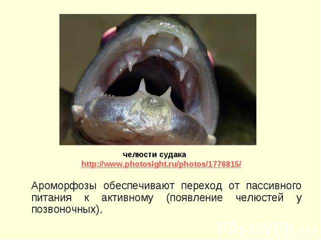 Ароморфозы обеспечивают переход от пассивного питания к активному (появление челюстей у позвоночных), Ароморфозы обеспечивают переход от пассивного питания к активному (появление челюстей у позвоночных),