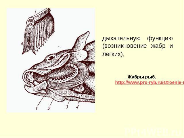 дыхательную функцию (возникновение жабр и легких), дыхательную функцию (возникновение жабр и легких),