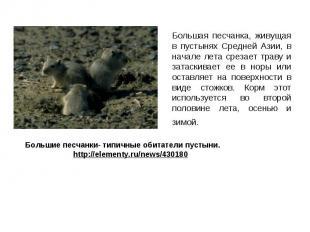 Большая песчанка, живущая в пустынях Средней Азии, в начале лета срезает траву и