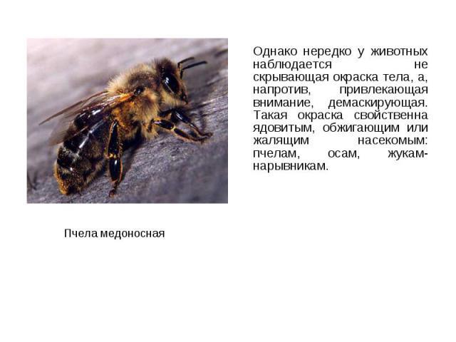 Однако нередко у животных наблюдается не скрывающая окраска тела, а, напротив, привлекающая внимание, демаскирующая. Такая окраска свойственна ядовитым, обжигающим или жалящим насекомым: пчелам, осам, жукам-нарывникам. Однако нередко у животных набл…