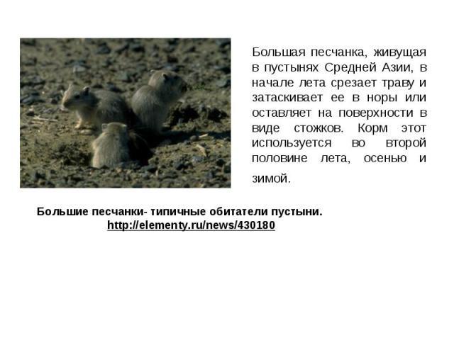 Большая песчанка, живущая в пустынях Средней Азии, в начале лета срезает траву и затаскивает ее в норы или оставляет на поверхности в виде стожков. Корм этот используется во второй половине лета, осенью и зимой. Большая песчанка, живущая в пустынях …