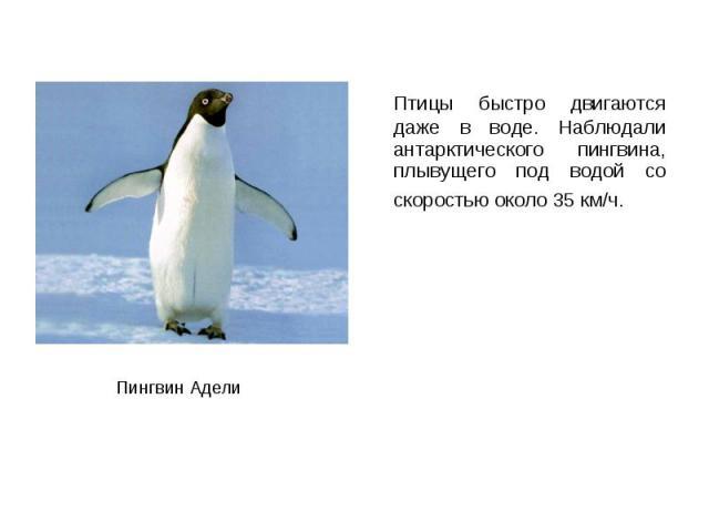Птицы быстро двигаются даже в воде. Наблюдали антарктического пингвина, плывущего под водой со скоростью около 35 км/ч. Птицы быстро двигаются даже в воде. Наблюдали антарктического пингвина, плывущего под водой со скоростью около 35 км/ч.