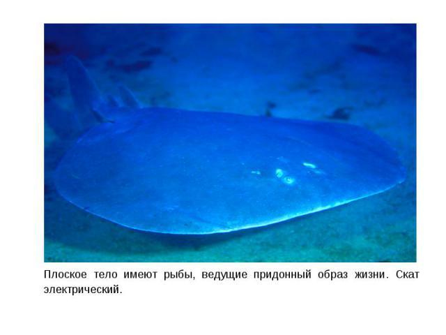 Плоское тело имеют рыбы, ведущие придонный образ жизни. Скат электрический. Плоское тело имеют рыбы, ведущие придонный образ жизни. Скат электрический.