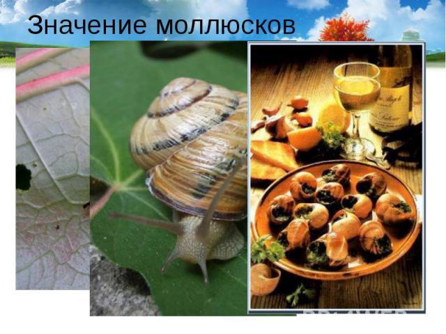 Значение моллюсков Слизни и виноградная улитка – вредители сельского хозяйства. Во Франции виноградные улитки – деликатес. Их разводят специально.