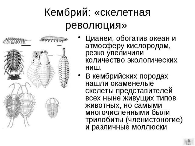 Кембрий: «скелетная революция» Цианеи, обогатив океан и атмосферу кислородом, резко увеличили количество экологических ниш. В кембрийских породах нашли окаменелые скелеты представителей всех ныне живущих типов животных, но самыми многочисленными был…