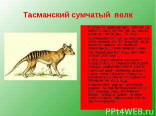 Тасманский сумчатый волк В длину тилацин достигал 100-130 см, вместе с хвостом 1