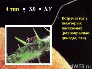 Встречается у некоторых насекомых (равнокрылые- цикады, тли) Встречается у некот