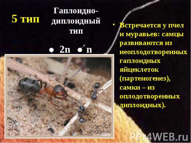 Встречается у пчел и муравьев: самцы развиваются из неоплодотворенных гаплоидных яйцеклеток (партеногенез), самки – из оплодотворенных диплоидных). Встречается у пчел и муравьев: самцы развиваются из неоплодотворенных гаплоидных яйцеклеток (партеног…