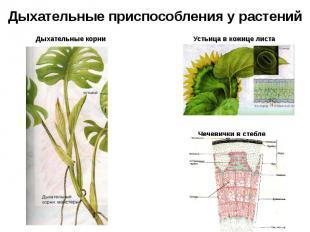 Дыхательные приспособления у растений Дыхательные корни Устьица в кожице листа Ч