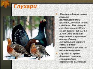 Глухари Глухарь один из самых крупных представителей куриных, ростом почти с инд