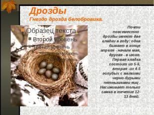 Дрозды Гнездо дрозда белобровика.
