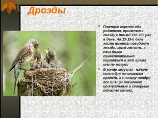 Дрозды Птенцов кормят оба родителя, прилетая к гнезду с пищей 150-200 раз в день