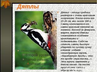 Дятлы Дятел – птица средних размеров с очень красивым оперением: длина тела его
