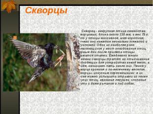 Скворцы Скворец - некрупная птица семейства скворцовых, длина около 230 мм, а ве
