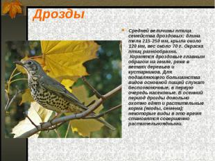Дрозды Средней величины птица семейства дроздовых: длина тела 215-250 мм, крыла