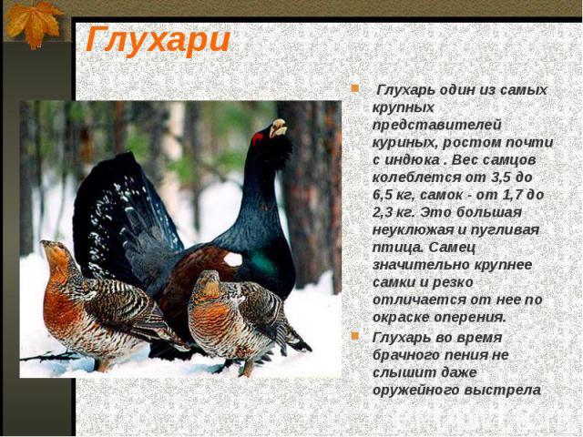 Глухари Глухарь один из самых крупных представителей куриных, ростом почти с индюка . Вес самцов колеблется от 3,5 до 6,5 кг, самок  от 1,7 до 2,3 кг. Это большая неуклюжая и пугливая птица. Самец значительно крупнее самки и резко отличается от…