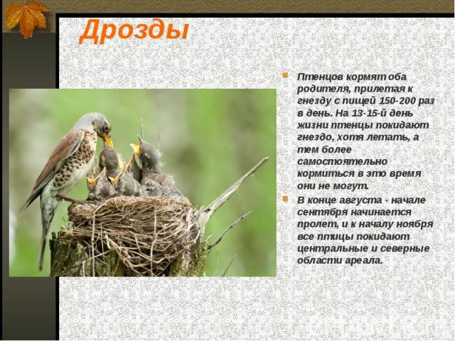 Дрозды Птенцов кормят оба родителя, прилетая к гнезду с пищей 150-200 раз в день. На 13-15-й день жизни птенцы покидают гнездо, хотя летать, а тем более самостоятельно кормиться в это время они не могут. В конце августа - начале сентября начинается …