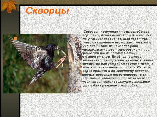 Скворцы Скворец - некрупная птица семейства скворцовых, длина около 230 мм, а вес 75 г. Тело у птицы массивное, шея короткая, отчего она кажется несколько тяжелой и неуклюжей. Одна из наиболее рано появляющихся у мест гнездования птиц. Первые дни по…