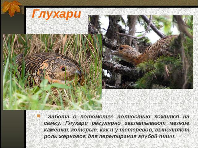 Забота о потомстве полностью ложится на самку. Глухари регулярно заглатывают мелкие камешки, которые, как и у тетеревов, выполняют роль жерновов для перетирания грубой пищи. Забота о потомстве полностью ложится на самку. Глухари регулярно заглатываю…