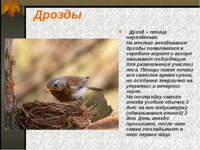 Дрозды Дрозд – птица перелётная. На местах гнездования дрозды появляются в середине апреля и вскоре занимают подходящие для размножения участки леса. Птицы поют почти все светлое время суток, но особенно энергично на утренних и вечерних зорях. На по…
