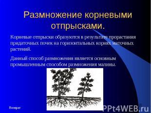 Размножение корневыми отпрысками.