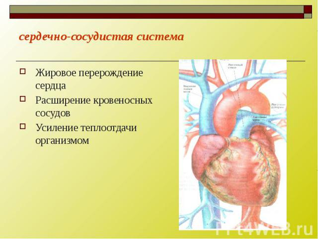 сердечно-сосудистая система Жировое перерождение сердца Расширение кровеносных сосудов Усиление теплоотдачи организмом