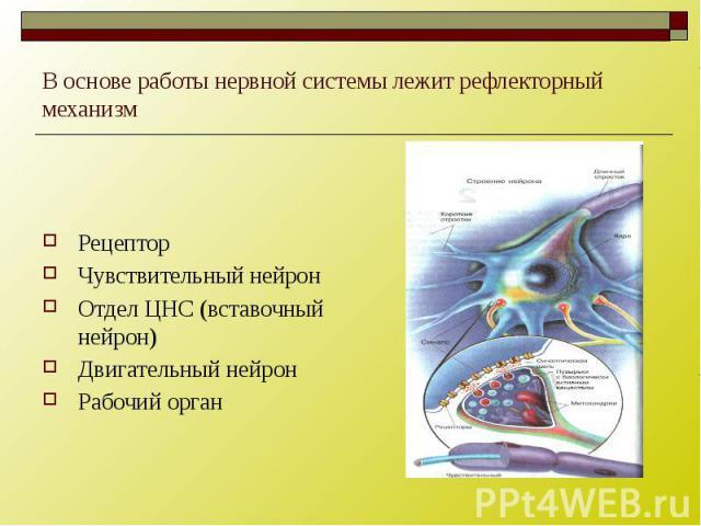 В основе работы нервной системы лежит рефлекторный механизм Рецептор Чувствительный нейрон Отдел ЦНС (вставочный нейрон) Двигательный нейрон Рабочий орган