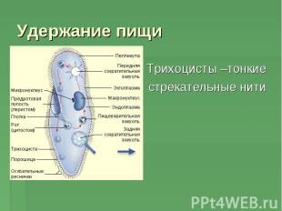 Трихоцисты –тонкие Трихоцисты –тонкие стрекательные нити