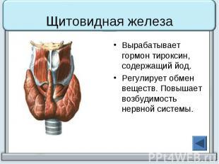 Щитовидная железа Вырабатывает гормон тироксин, содержащий йод. Регулирует обмен