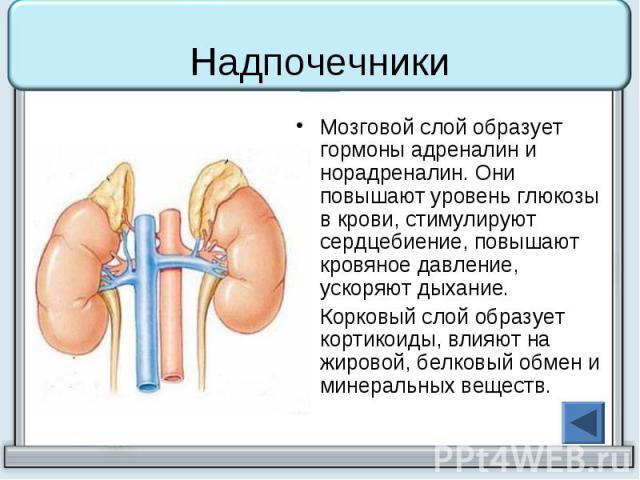 Надпочечники Мозговой слой образует гормоны адреналин и норадреналин. Они повышают уровень глюкозы в крови, стимулируют сердцебиение, повышают кровяное давление, ускоряют дыхание. Корковый слой образует кортикоиды, влияют на жировой, белковый обмен …