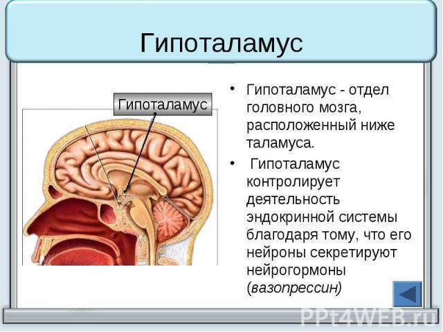 Гипоталамус Гипоталамус - отдел головного мозга, расположенный ниже таламуса. Гипоталамус контролирует деятельность эндокринной системы благодаря тому, что его нейроны секретируют нейрогормоны (вазопрессин)