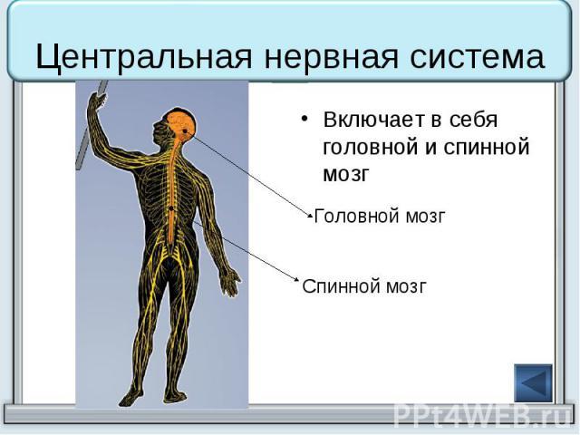 Центральная нервная система Включает в себя головной и спинной мозг