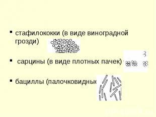 стафилококки (в виде виноградной грозди) сарцины (в виде плотных пачек) бациллы
