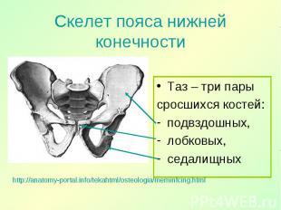 Таз – три пары Таз – три пары сросшихся костей: подвздошных, лобковых, седалищны